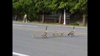 Canadian goose family is crossing the street