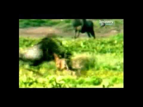Bbc самые опасные животные - 7c