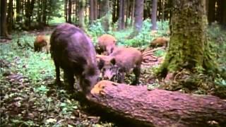 Dişi Yaban Domuzu ve Yavrularının Gezintisi