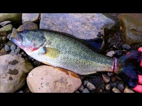 ブラックバスを釣って食う Large-mouth bass fishing & cooking