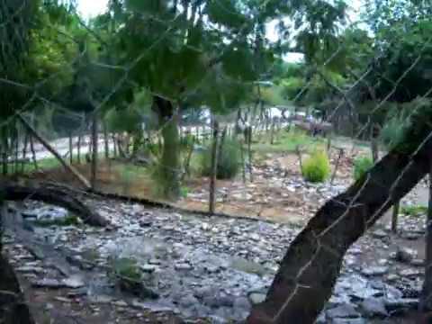guanacos apareandose