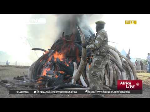 Kenya to destroy over 1000 tonnes of ivory and rhino horns