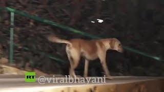 VIRAL: Perro roba el protagonismo a unos modelos en un desfile en India