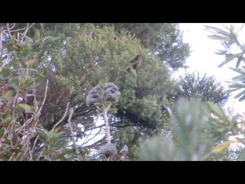 Kakas im Botanischen Garten von Wellington/North Island/NZ