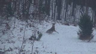 Big Northern Michigan Buck Dropped