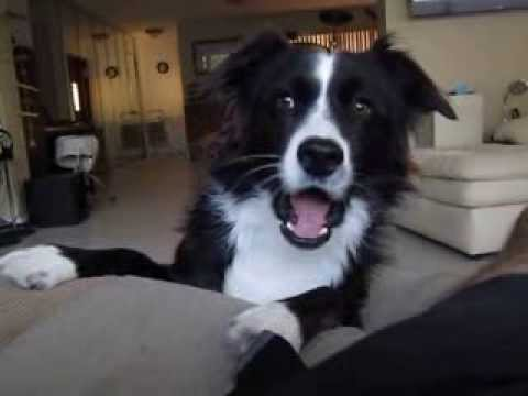 The Talking Border Collie, Sadie Part 1