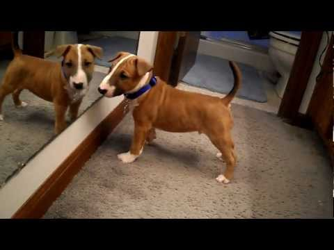 English Bull Terrier Puppy Discovers Reflection