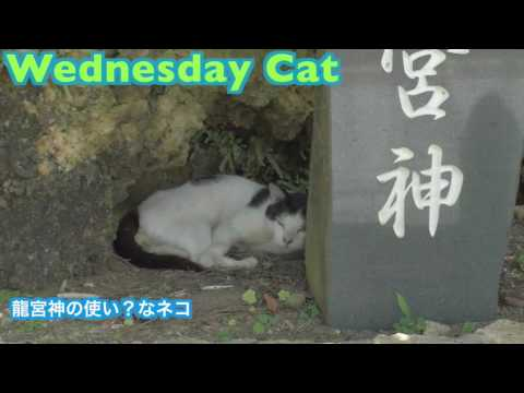 猫動画 龍宮神の使い?かもしれないねこ 20160629【水曜日のネコ】