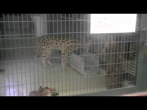 円山動物園に来園したサーバルキャット ケビン~Serval Cat