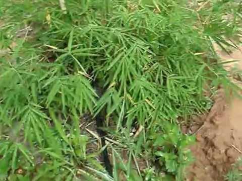 สวนไผ่เลี้ยงหวาน ตอนการให้น้ำ