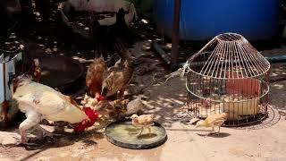 meet up chicks,duck, hens & cock