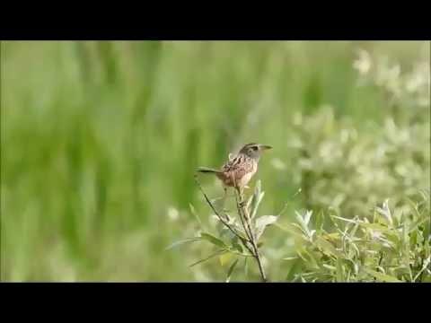 Sedge Wrens & Marsh Wrens - Carden Alvar
