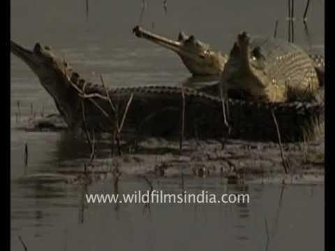 Sunbathing gharial crocodilians