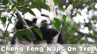 Panda Cheng Feng's Growing-up Diary Episode 12 | iPanda