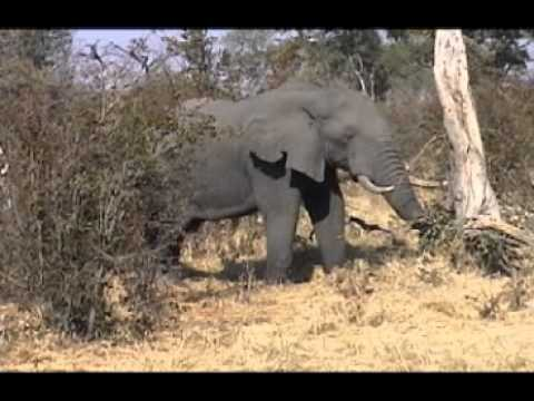 An elephant eating, Botswana