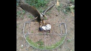 Mẹt bẫy chim săn khủng của Việt Nam thế hệ 3_dùng mồi bồ câu đánh chim lớn .