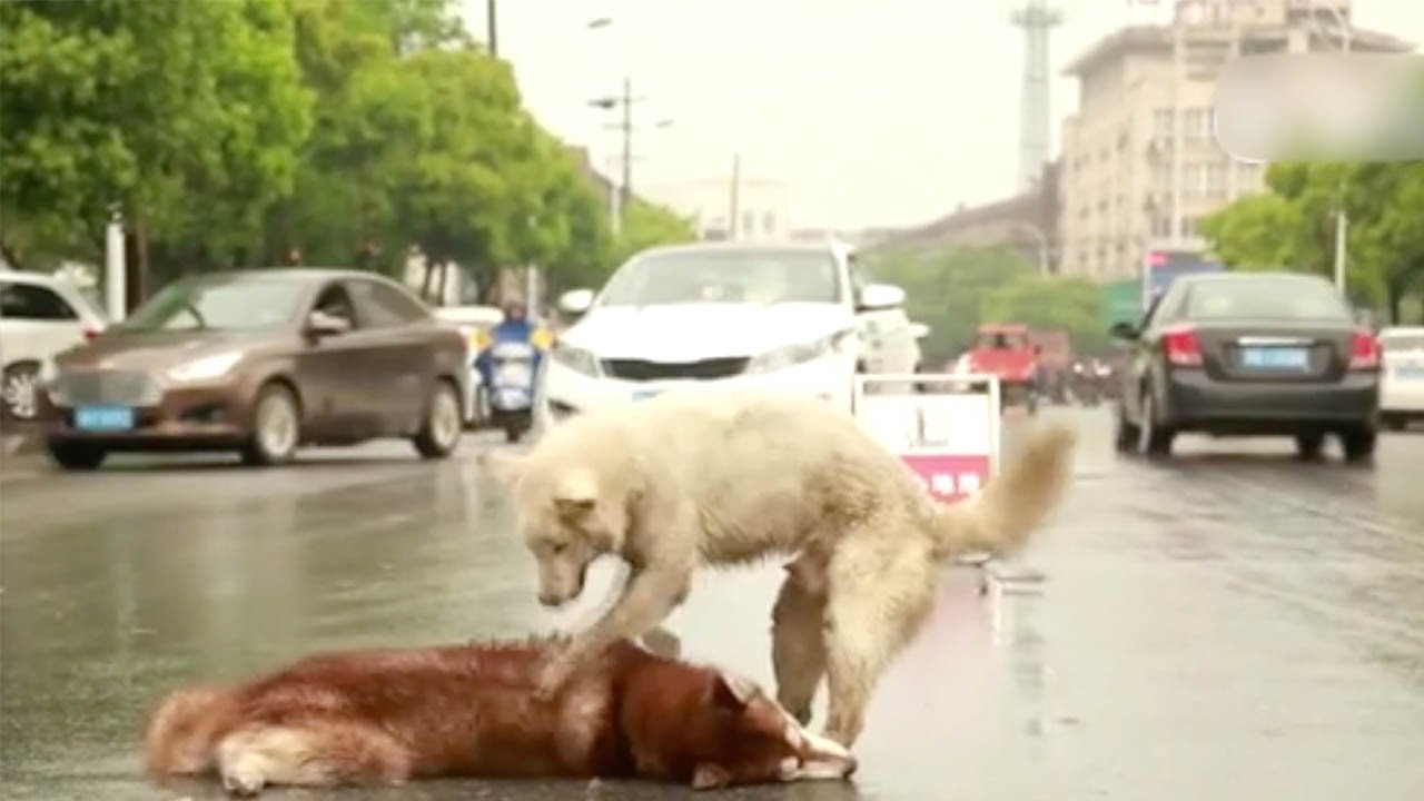 Dog hovers around body of its friend killed by a car