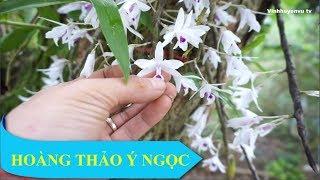 Hoàng thảo Ý Ngọc - Bung đẹp rực rỡ