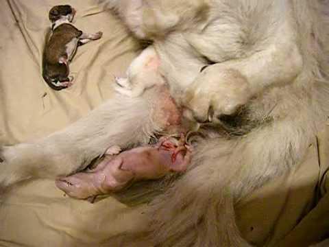 layla dog giving birth 4   youtube