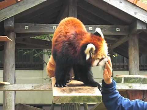 大牟田市動物園 「レッサーパンダのそら」