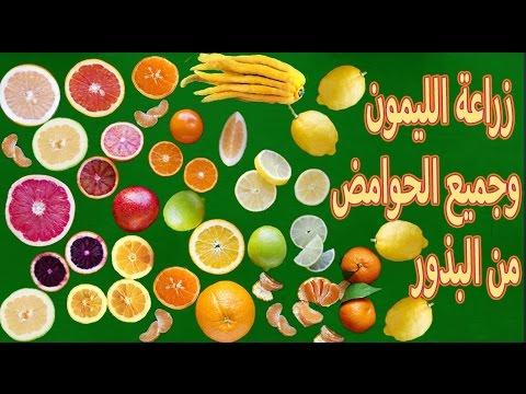 زراعة الليمون ,البرتقال,اليوسفي ,الجريب فروت | من البذور | thumbnail