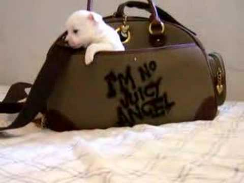 Cute Juicy Couture Puppy!