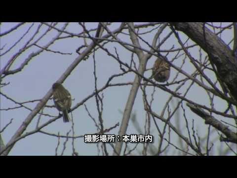 岐阜県の野鳥 05「ベニマシコ」