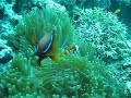 Anemone fish philippines