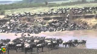Hippos Fighting | Wildebeest Migrating | Crocs Attacking