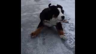 Mirá como se resbala un perro en la nieve en cámara lenta