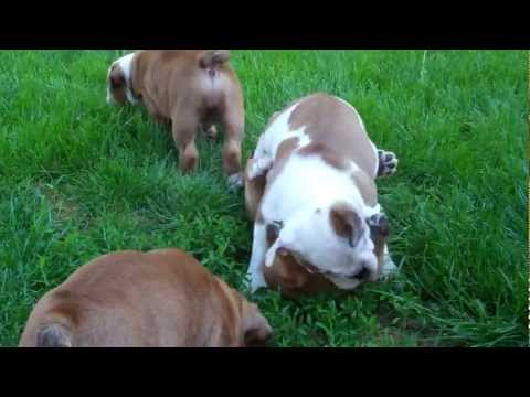 8 week old English bulldog puppies playing together outside for the first time!