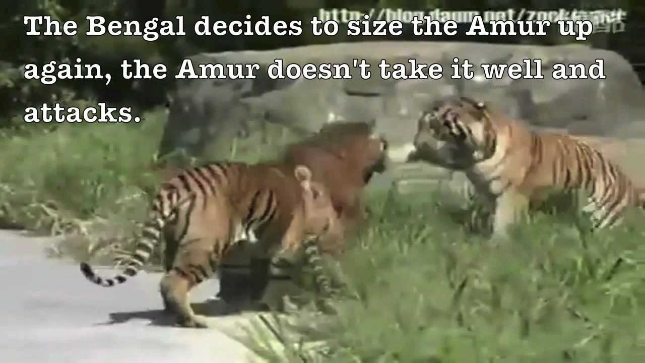 Siberian Tiger Vs Bear Maxresdefault.jpg