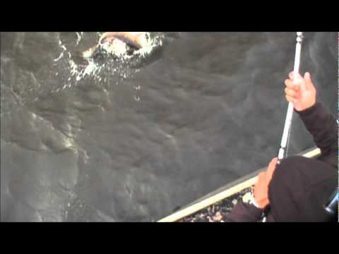 Slayer Inc on location in Hopedale Louisina sight fishing with the Punisher Spinnerbait video 5.wmv