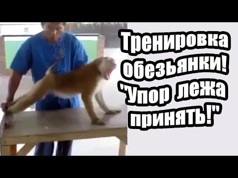 """Тренировка обезьянки! """"Упор лежа принять!"""""""