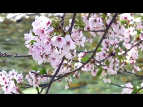 ラジコン空撮「水辺の桜」