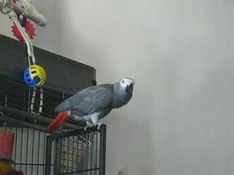 Phoenix My Amazing African Grey Parrot Doing Animal Noises & Beat Boxing Video