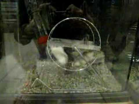 cute hamsters Video