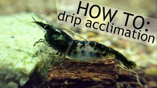 new shrimp! HOW TO: drip acclimation