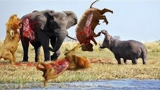 Most Amazing Animal Fights Caught On Camera - Lion, Crocodile, Hyena, Elephant, Zebra