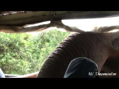 Elephant Attack at Yala National Park Sri Lanka (Gemunu)