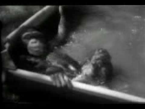 Chimp Beats the Heat