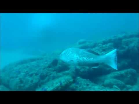 plentiful gag grouper.