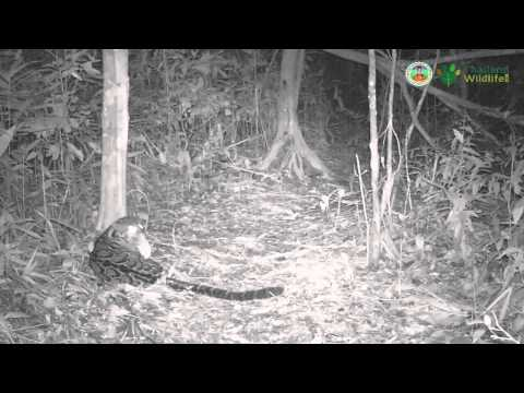 Kaeng Krachan Clouded Leopard