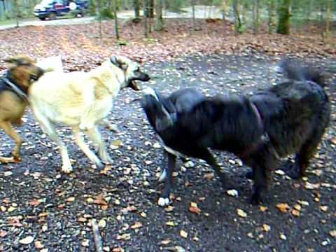 Kangal vs. Labrador,Neufundl.,Bloodhound