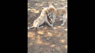 [Cute Puppies] Video