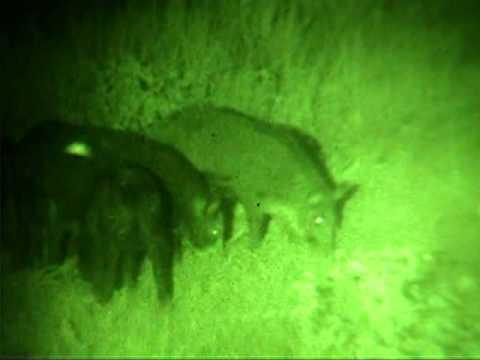 NightHogs.com night vision wild boar hog hunting
