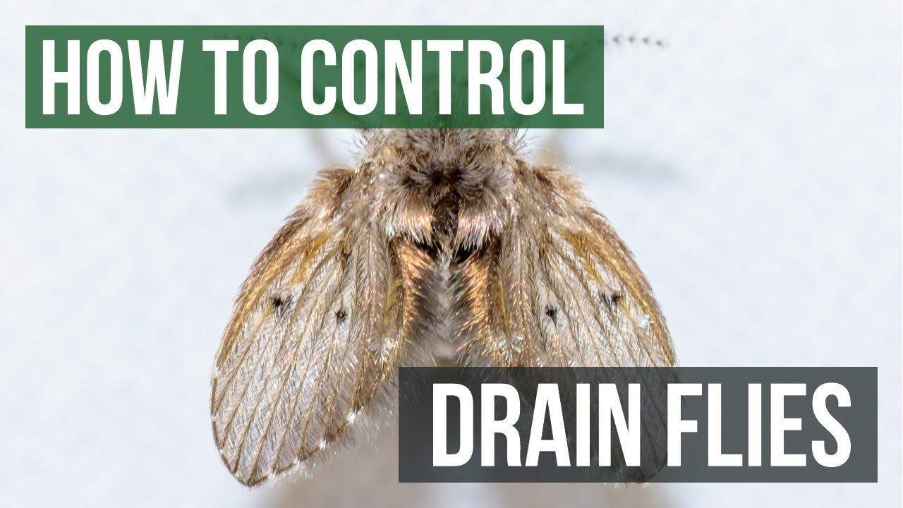 how to catch drain flies