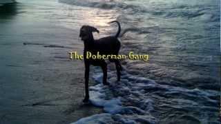 A Gang dos Dobermans - The Doberman Gang - Apollo treinado por Cesar Millan