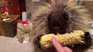 Teddy Bear the Porcupine Finds a Christmas Treat
