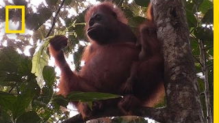 Orangutans Nurse Their Young For Much Longer Than You'd Think   National Geographic
